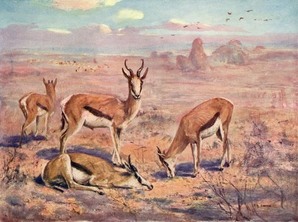 Springboks on the plains of South Africa (gazella euchore)