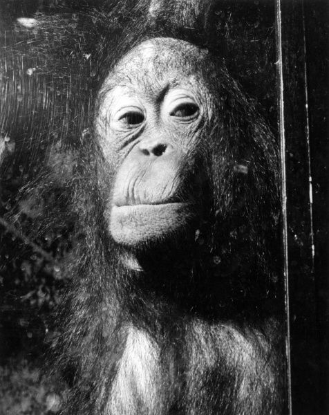 An Orangutan with its face squashed against a window pane. Date: 1960s