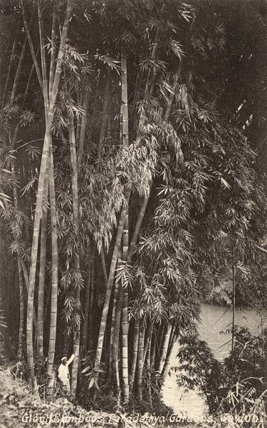 Giant Bamboo Plants at the Royal Botanical Garden, Peradeniya, close to the city of Kandy in the Central Province of Sri Lanka. Date: 1932