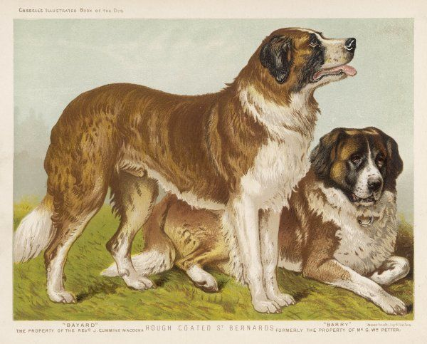 The rev J Cumming Macdonald's rough-coated St Bernards 'Bayard' and 'Barry&#39