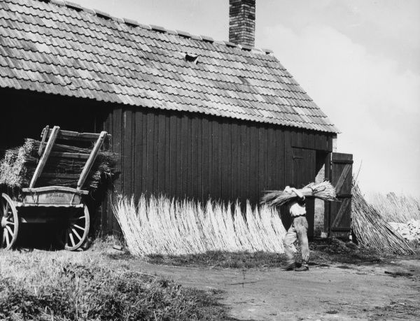 A man, in Athelney, Somerset, stacks bundles of dried willow rods called 'withes' on a cart to be used for wickerwork and basket-making
