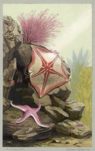A couple of starfish including a pink and white one which could be a variety of bat starfish