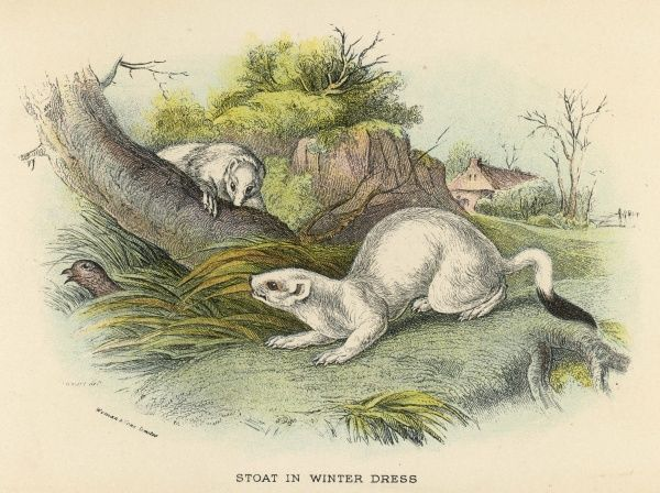 Two stoats in their white winter coats