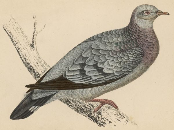 STOCK DOVE (Columba oenas) so called because it likes to nest in the stocks of trees
