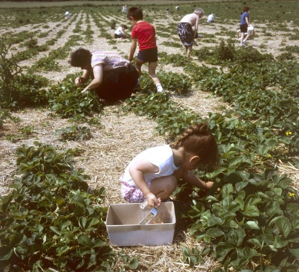 People (including a little girl with plaited hair), picking strawberries in a field. Date: 1990