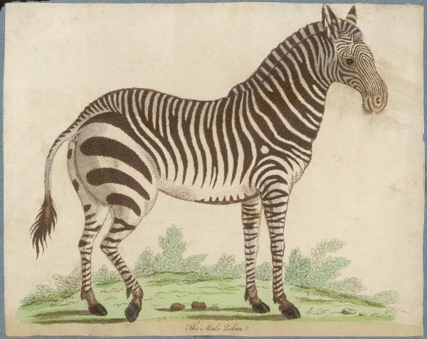 An early depiction of a male zebra (equus or hippotigris zebra) : the stripes, which serve as camouflage in the wild, are beautifully delineated