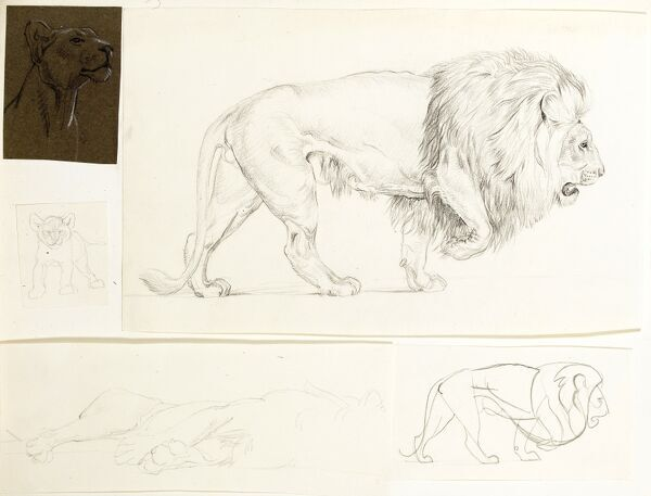 Studies of lions -- male, female, and a cub