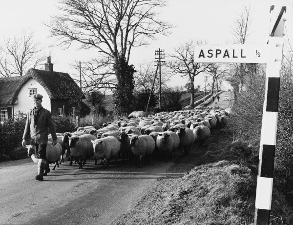 A scene on a lane near Aspall, Suffolk, England. showing a shepherd leading his flock of over 300 Suffolk sheep and Scotch half-breed ewes to the lambing pens on a winter's day