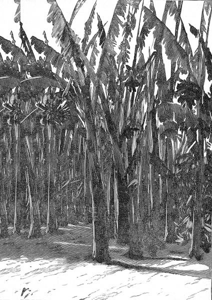 Illustration showing some towering sugar canes, Southern California, 1888