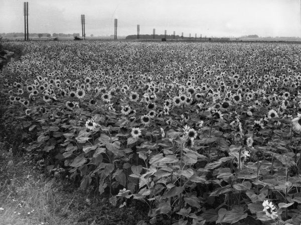 Sunflowers growing in the fields of Lincolnshire, England. Date: 1930s