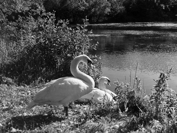 A swan Cob and Pen couple, resting together on the bank of a lake in Cheshire, England. Date: 1950s