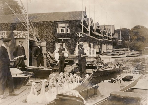 A punt load of swans, and two cygnets, about to be transported higher up the River Thames for their safety, in preparation for the annual Henley Regatta in early July
