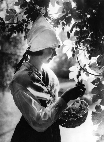 A pretty Swedish hop picker at work in the orchards during a particularly fruiyful harvest. Date: 1930s
