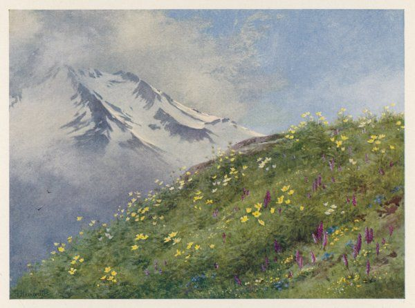 Swiss Alps: Col de la Forclaz in June, with sulphur anemone and orchids