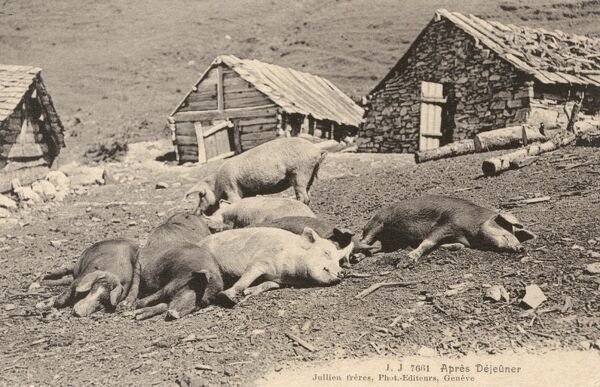 Switzerland - A group of pigs take a nap after lunch on a Swiss hillside farm Date: circa 1910s