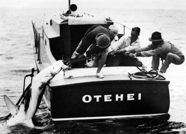 Hawling the freshly caught (and heavy) swordfish on board the 'Otehei'! New Zealand. Date: 1930s