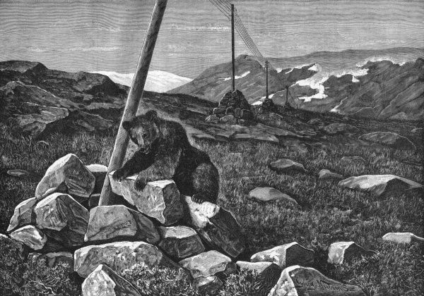 The advance of civilisation - a bear investigates a telegraph pole amid the mountains of Sweden. Date: 1907