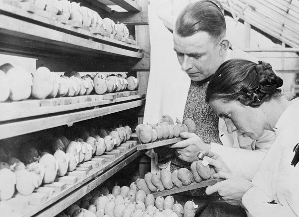A man and woman testing seed potatoes, Germany. Date: early 1930s