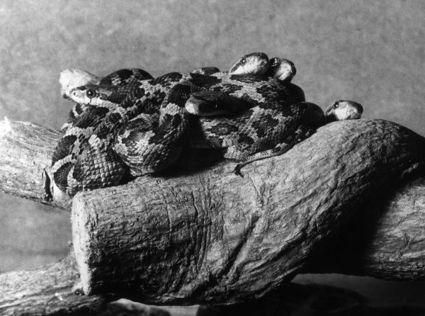 A nest of young Texas Rattlesnakes. Date: 1960s