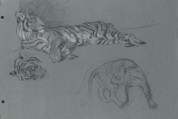 Pastel study of a Tiger and a sketch of another big cat (below) by Raymond Sheppard