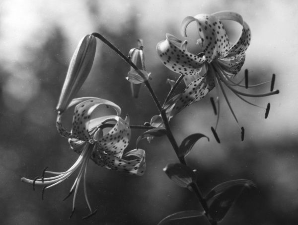 The distinctive flowers of the Tiger Lily (Lilium Tigrinum). Date: 1930s