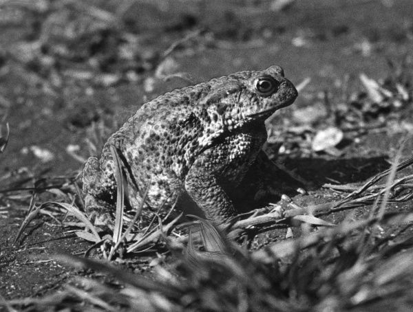 Study of a toad. Date: 1950s