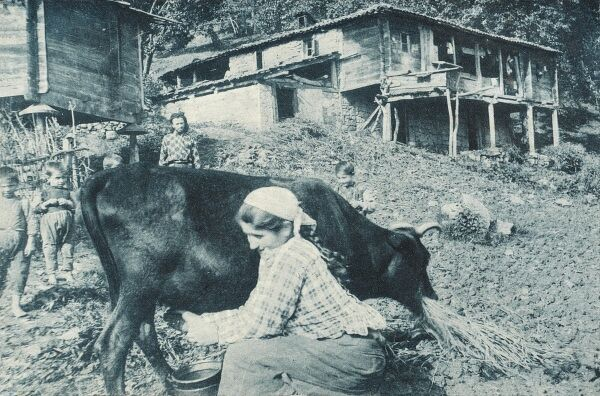 Milking the cow and a general view of rural life and housing in the country close to Trabzon on the Black Sea coast in north-eastern Turkey. The capital of Trabzon Province. Trabzon was located on the historic silk road route and during the Ottoman period