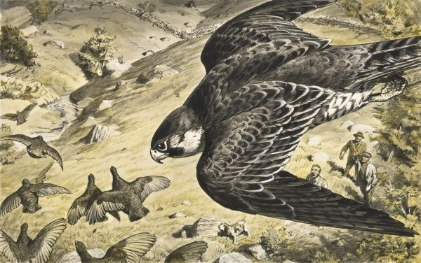 A Trained Peregrine Falcon hunting grouse. Painting by Raymond Sheppard