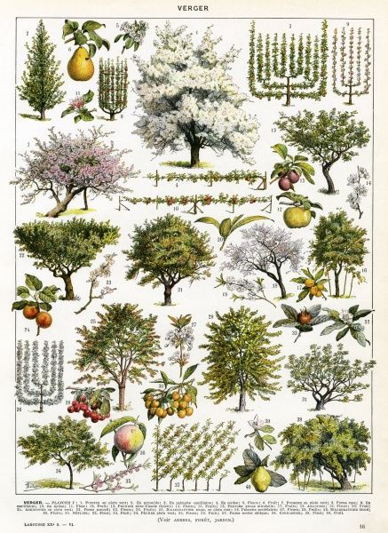 A decorative page of orchard and other fruit trees, their blossoms, their training, their fruits Date: early 20th century