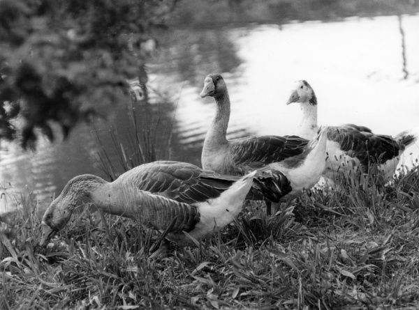 A trio of domestic geese. Date: 1960s