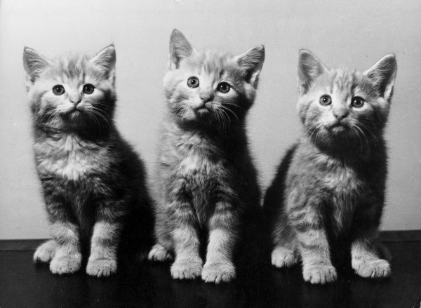 'The Three Graces' - a trio of cute kittens! Date: 1960s