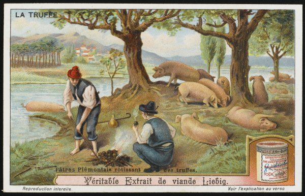 Searching for summer truffles with trained pigs in Piedmont, Italy. The truffles, once found, are roasted on a fire. card 2 of 6