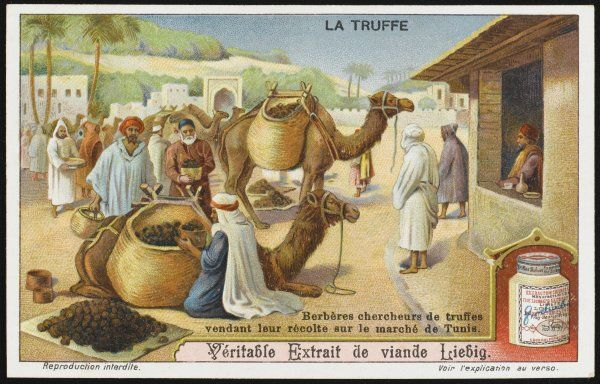 Truffles are found also in North Africa : in Tunisia, Berber truffle-hunters bring their goods to market on the backs of camels. card 6 of 6