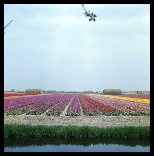 Colourful tulip fields in Lisse, Holland
