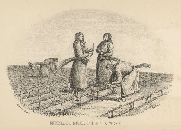 Women workers twisting the vines in the Medoc (Bordeaux) region