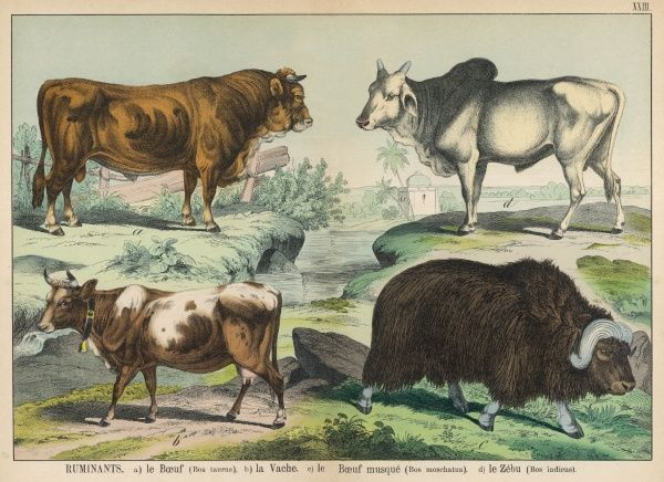 Four types of cattle: Bull, Cow, Musk Buffalo, and Zebu (humped or Brahman)
