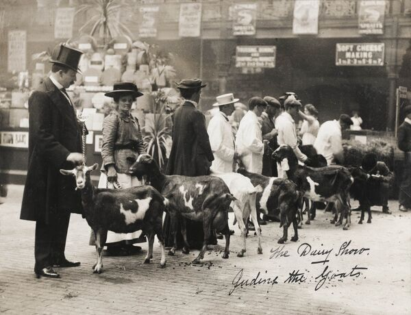Feeding the prize goats at the UK Dairy Show of 1911, held at the Royal Agricultural Hall, Islington, London - now the 'Business Design Centre' and former venue for the BAPLA 'Picture Buyer's Fair' (between 2004 - 2009)
