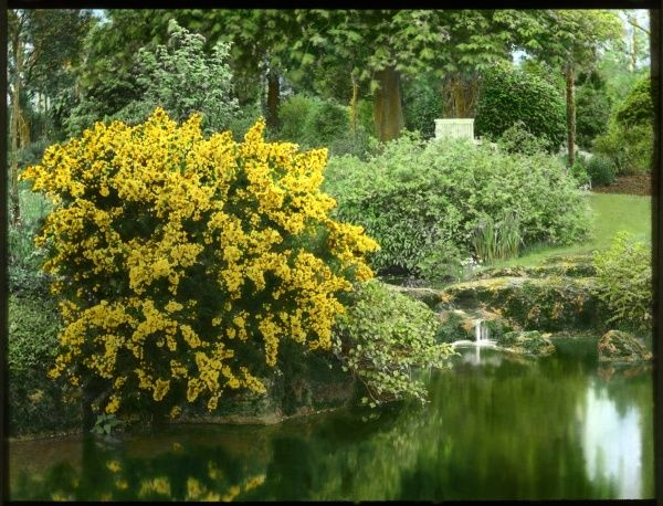 Ulex Europaeus Flore Pleno (Double Gorse), an evergreen shrub of the Fabaceae family. Seen here growing at the side of a pond, with bright yellow flowers