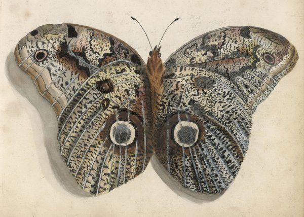 Amateur naturalist's depiction of a moth which minutely records the markings found on its brown and grey wings