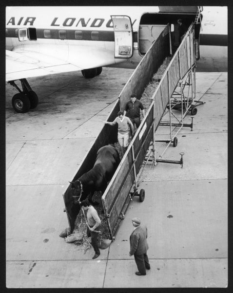 Unloading a racehorse at Gatwick Airport, Surrey, England
