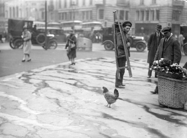 Why did the chicken cross the road? A cheeky chicken becomes the talk of the town. Date: 1930s