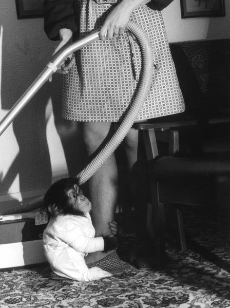 'Oh Mum, don't do any vacuuming, give me a cuddle instead!' A young chimp clings to the leg of a hoovering housewife! Date: 1977