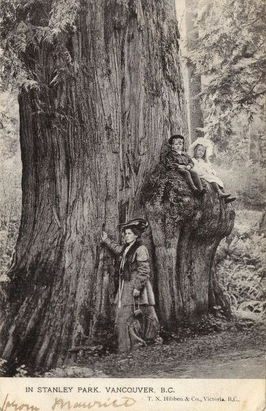 Vancouver, British Columbia, Canada - Stanley Park. The park contains many huge Douglas-fir (pictured), Western Red cedar, Western Hemlock, and Sitka Spruce trees. Date: 1904