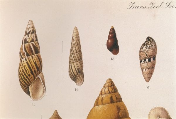 Various land shells. Date: 1909-10