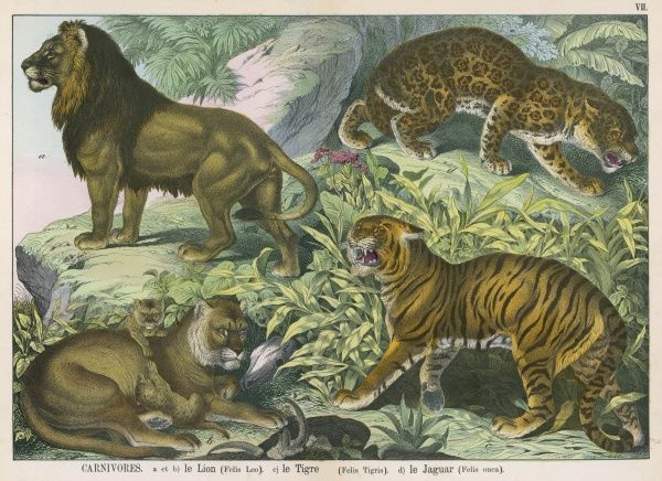 Various wild cats: male and female Lion with cubs, Tiger, and Jaguar