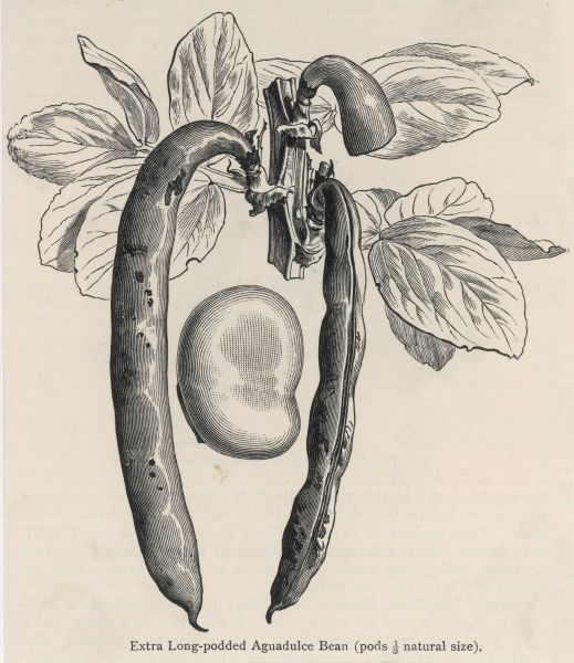 Extra long-podded Aguadulce bean