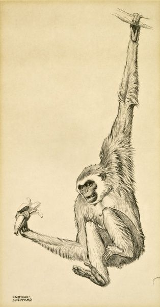 A Vervet Monkey (Chlorocebus pygerythrus) swinging on a branch, holding a banana. Pastel drawing by Raymond Sheppard