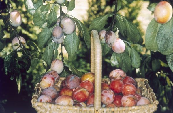 Victoria plums, on the tree and in a basket. Date: 1974