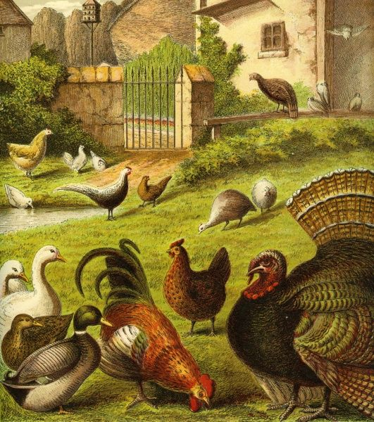 Victorian Farmyard (The poultry). A closer look at poultry. Ducks, chicken and turkeys in the farmyard. Unattributed illustrator Date: circa 1870
