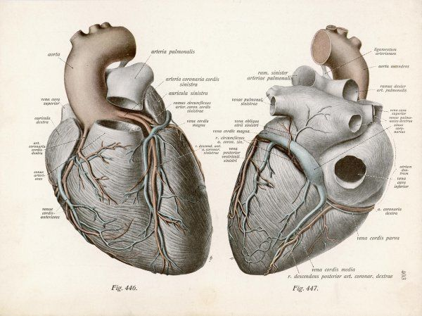 Two views of the heart, with the parts labelled in latin